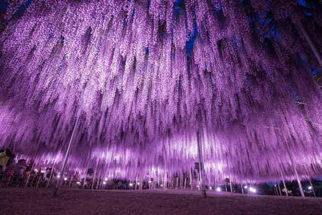 足利花卉公園紫藤花點燈必去景點