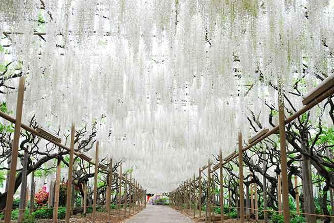 足利花卉公園紫藤花必去景點