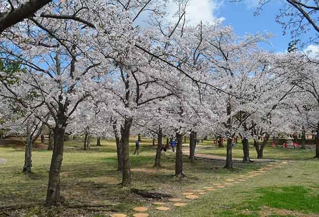 慶州佛國寺櫻花必去景點