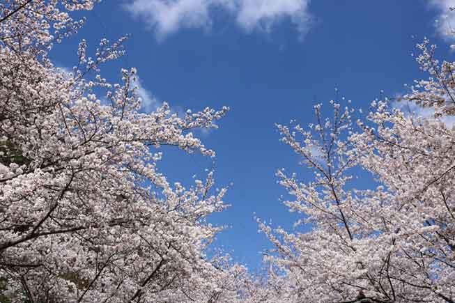 釜山櫻花路必去景點