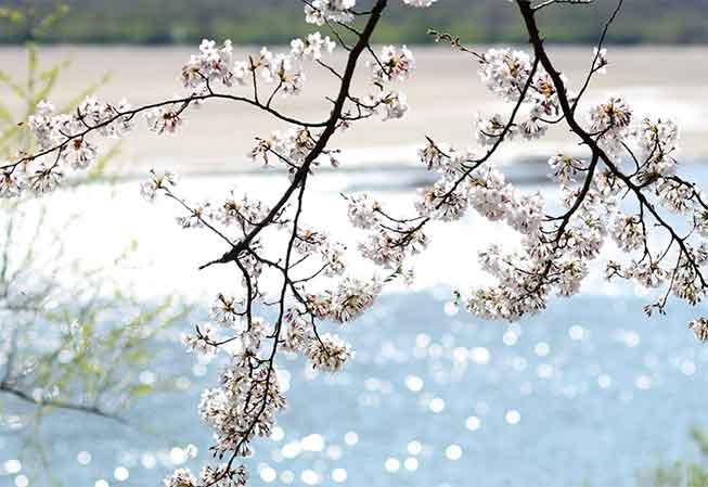晉州河畔櫻花必去景點