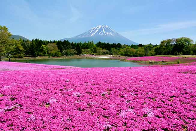 日本富士山芝櫻必去景點