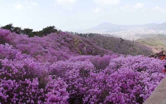 韓國高麗山杜鵑花必去景點