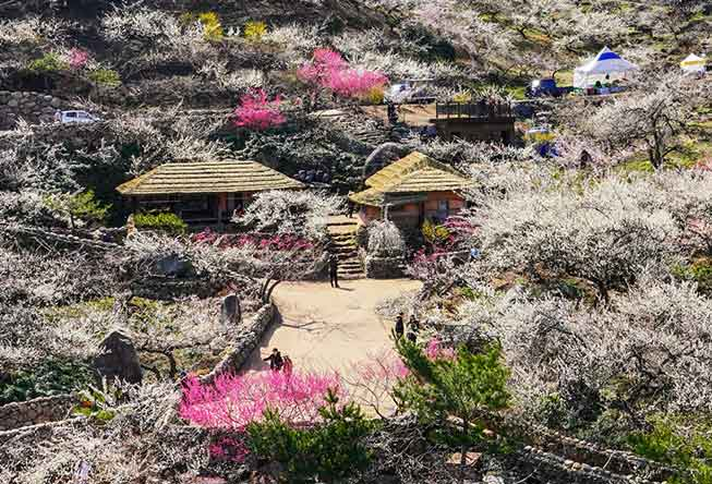 韓國光陽梅花村必去景點