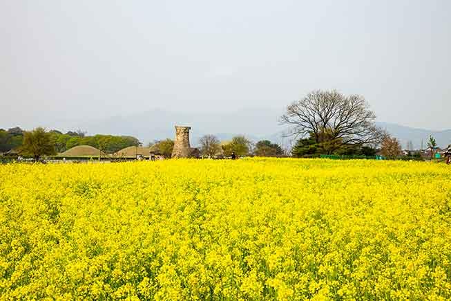慶州油菜花必去景點
