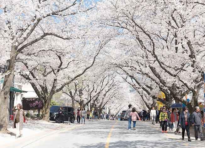 韓國雞籠山櫻花必去景點