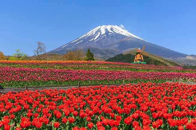富士天空鬱金香節必去景點