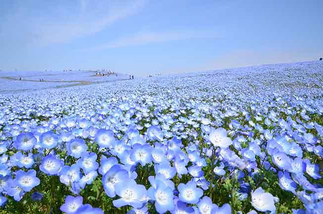 國營常陸海濱公園粉蝶花必去景點