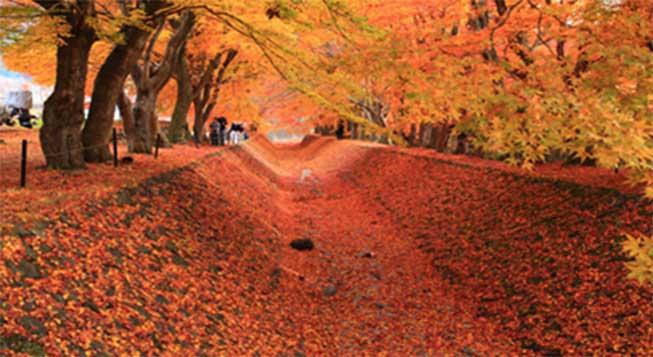 河口湖紅葉景點-紅葉迴廊