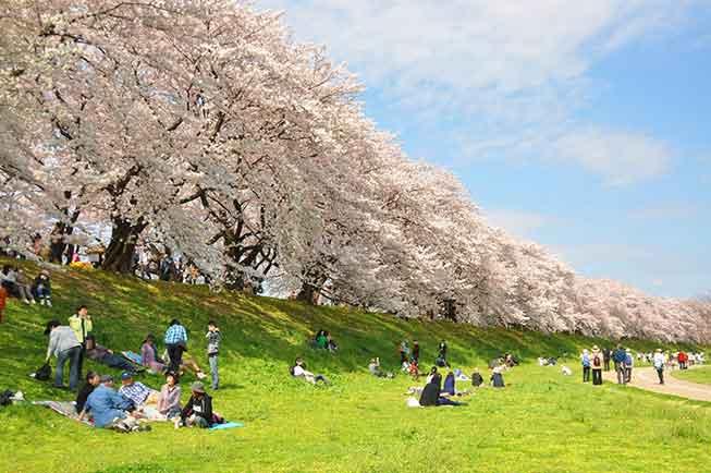 京都背割堤必去景點