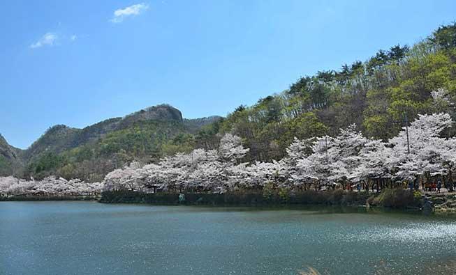 全州馬耳山櫻花必去景點