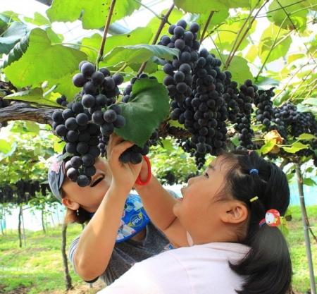 韓國葡萄園