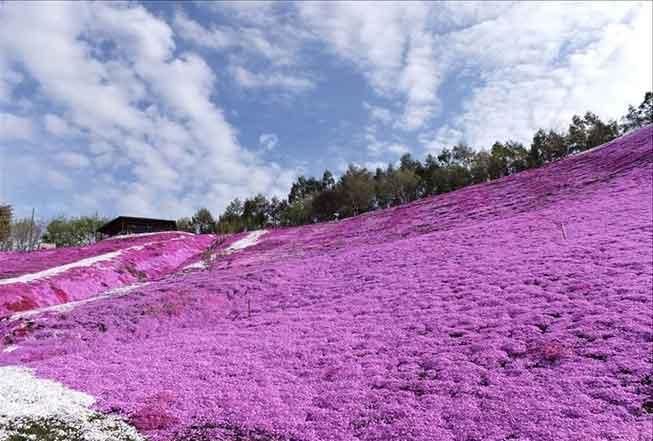 北海道瀧上芝櫻公園必去景點