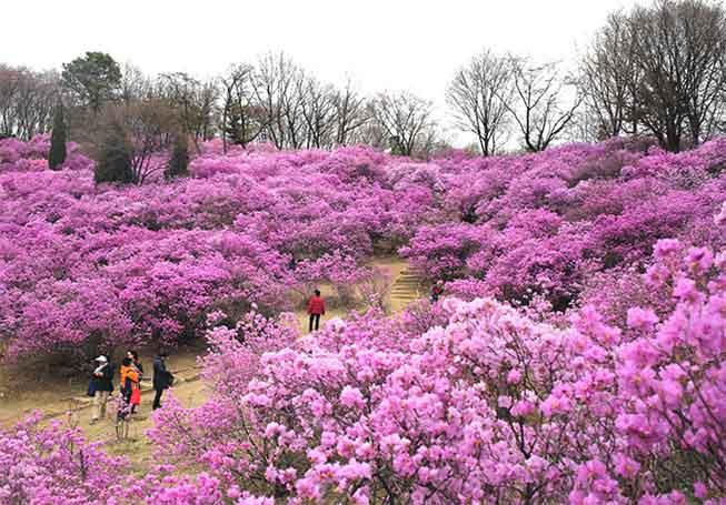 首爾遠美山杜鵑花必去景點