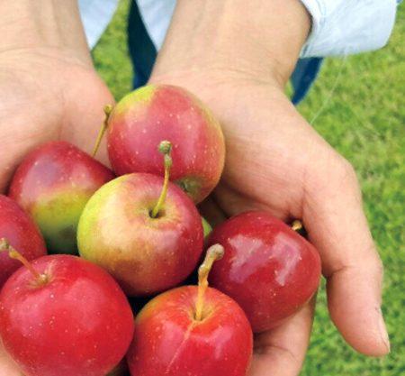 首爾農場摘小蘋果一日遊行程