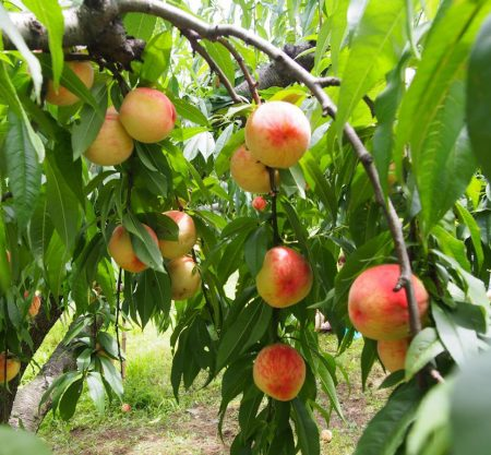 首爾摘水蜜桃